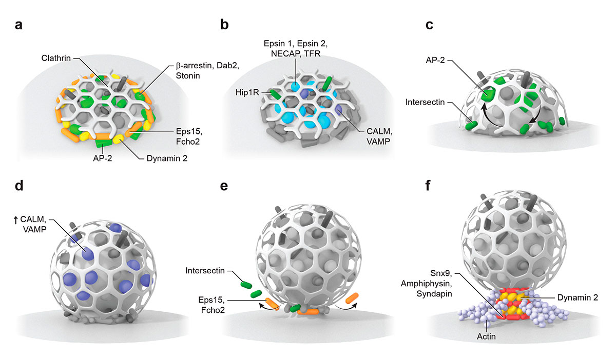 endocytic proteins distribute into distinct spatial zones in relation to the edge of the clathrin lattice