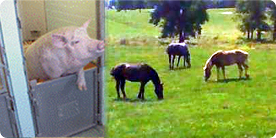 Pig & Horses on field