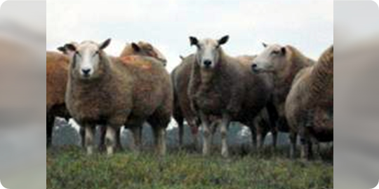 Sheep in a group on grass